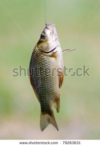 Fish stock-photo--fish-caught-on-a-fishing-line-79263631